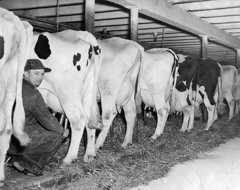 Grandpa Frederick Milking Cows